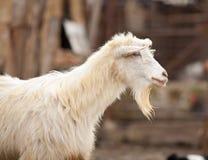 逗人喜爱的山羊 免版税库存图片