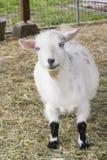 逗人喜爱的山羊 库存照片