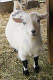 逗人喜爱的山羊 库存图片