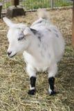 逗人喜爱的山羊 免版税库存照片