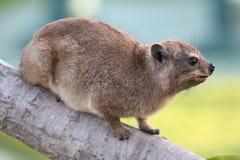 逗人喜爱的岩石非洲蹄兔动物 库存图片