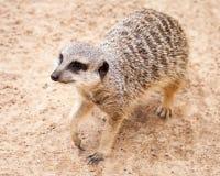 逗人喜爱的布朗查寻在开掘的Meerkat在沙子以后 库存照片