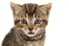 逗人喜爱的平纹小猫离子白色 免版税图库摄影