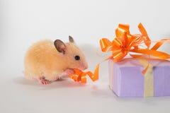 逗人喜爱的幼小仓鼠尖酸的丝带 免版税库存照片