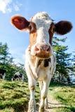 逗人喜爱的幼小小牛 库存照片