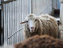 逗人喜爱的幼小母绵羊 免版税库存照片