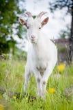 逗人喜爱的幼小白色山羊 库存照片