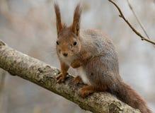 逗人喜爱的幼小红松鼠坐与一个的树枝举了前面腿 库存图片