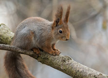 逗人喜爱的幼小红松鼠坐树枝 免版税图库摄影