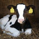 逗人喜爱的幼小黑白小牛在秸杆在 图库摄影