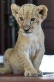 逗人喜爱的幼狮开会画象  库存照片