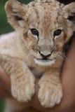 逗人喜爱的幼狮画象  免版税库存照片