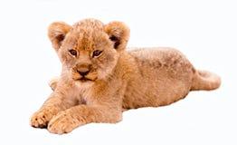 逗人喜爱的幼狮 库存图片