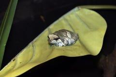 逗人喜爱的异乎寻常的青蛙坐一片大黄色叶子 免版税库存照片