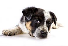 逗人喜爱的得克萨斯Heeler小狗 免版税图库摄影