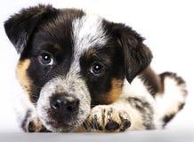 逗人喜爱的得克萨斯Heeler小狗 免版税库存照片