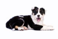 逗人喜爱的得克萨斯Heeler小狗 免版税库存图片