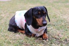 逗人喜爱的微型银起斑纹达克斯猎犬 库存照片