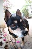 逗人喜爱的微型pincher狗 图库摄影