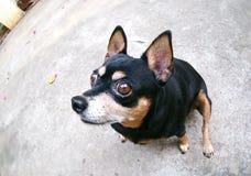 逗人喜爱的微型pincher狗 免版税库存照片