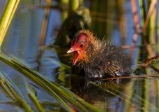 逗人喜爱的微小的年轻老傻瓜鸭子在春天 库存图片