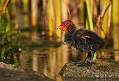 逗人喜爱的微小的年轻老傻瓜鸭子在春天 免版税库存图片