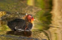 逗人喜爱的微小的年轻老傻瓜鸭子在春天 免版税库存照片