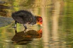 逗人喜爱的微小的年轻老傻瓜鸭子在春天 图库摄影