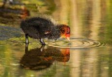 逗人喜爱的微小的年轻老傻瓜鸭子在春天 免版税图库摄影