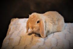 逗人喜爱的微小的矮小的兔宝宝 免版税库存照片