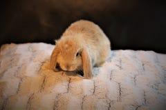 逗人喜爱的微小的矮小的兔宝宝 图库摄影