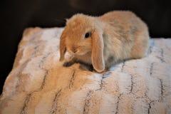 逗人喜爱的微小的矮小的兔宝宝 库存照片