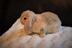 逗人喜爱的微小的矮小的兔宝宝 免版税库存图片