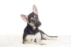 逗人喜爱的德国小狗牧羊人 免版税库存图片