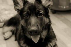 逗人喜爱的德国小狗牧羊人 图库摄影