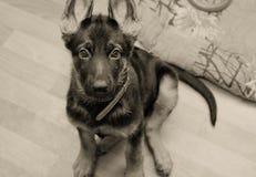 逗人喜爱的德国小狗牧羊人 免版税库存照片