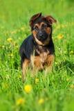 逗人喜爱的德国牧羊犬小狗身分在花草甸 图库摄影