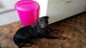 逗人喜爱的德语Rottweiler在厨房里在荷兰 库存图片