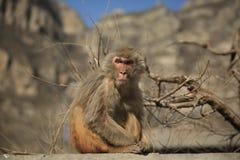 逗人喜爱的恼怒的猴子 免版税库存图片