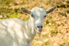 逗人喜爱的愉快的白色山羊画象与黄色眼睛的 图库摄影