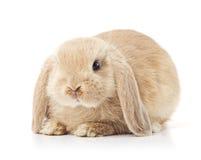 逗人喜爱的愚钝的兔子 库存照片