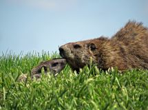 逗人喜爱的成人和婴孩Groundhogs 免版税库存照片