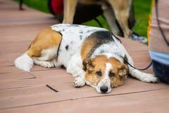 逗人喜爱的成人放弃了与哀伤的眼睛的狗从等待的风雨棚被采取 寂寞、无用和社交的概念 库存图片