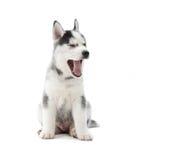 逗人喜爱的打呵欠与张的嘴的小狗西伯利亚爱斯基摩人 库存图片