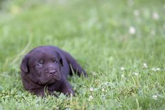 逗人喜爱的拉布拉多小狗 库存图片