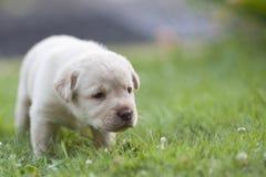 逗人喜爱的拉布拉多小狗 库存照片