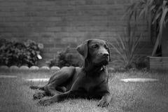 逗人喜爱的拉布拉多小狗 免版税图库摄影