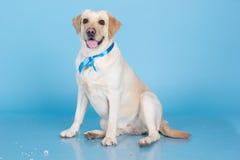 逗人喜爱的拉布拉多狗在演播室 免版税库存图片