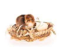 逗人喜爱的新出生的鸡 免版税库存照片