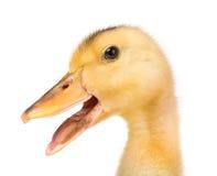 逗人喜爱的新出生的鸭子 免版税库存照片